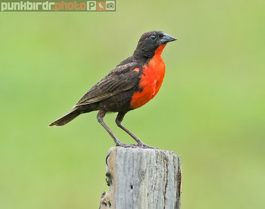 red-breasted blackbird (sturnella militaris)