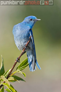 Mountain Bluebird (Sialia currucoides)