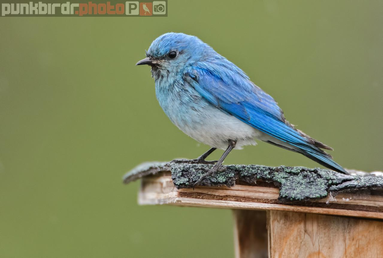 mountain bluebird (sialia currucoides)