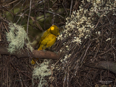 Golden Bowerbird, Atherton Tablelands, QLD, Dec 2014-2 copy