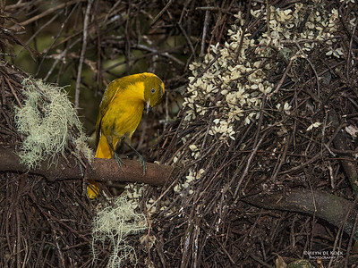 Golden Bowerbird, Atherton Tablelands, QLD, Dec 2014-3