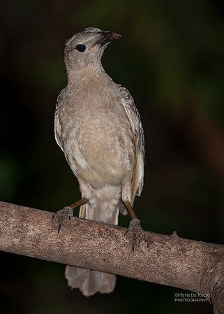 Great Bowerbird, Laura, QLD, Dec 2009