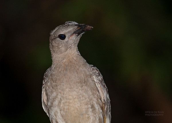 Great Bowerbird, Laura, QLD, Dec 2009a