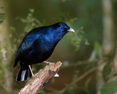 Satin Bowerbird, Lamington NP, QLD, Dec 2015-2