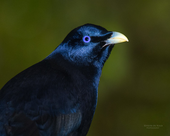 Satin Bowerbird, Lamington NP, QLD, Dec 2015-1