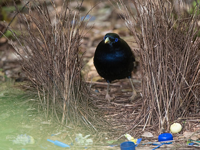 Satin Bowerbird, Lamington NP, QLD, Dec 2014