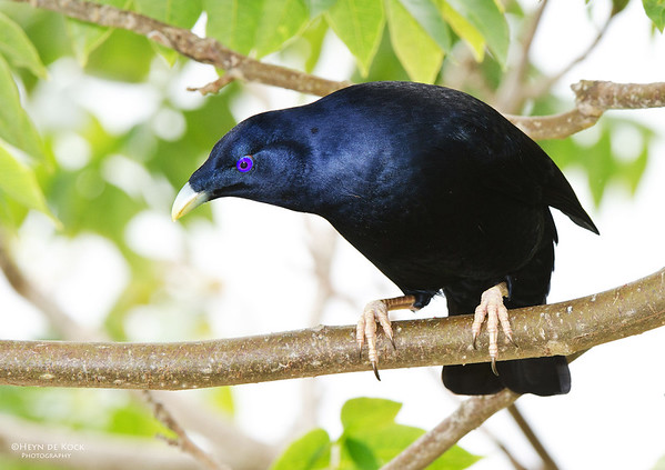Satin Bowerbird, Lamington NP, Qld, Aus, Nov 2011