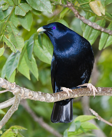 Satin Bowerbird, Lamington NP, Qld, Aus, Nov 2011-1