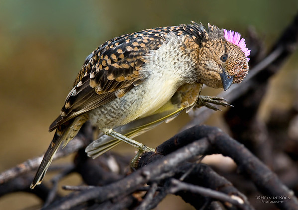Spotted Bowerbird, Bowra, Qld, Aus, Jul 2009