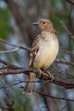 Spotted Bowerbird, Bowra Station, QLD, Jul 2010