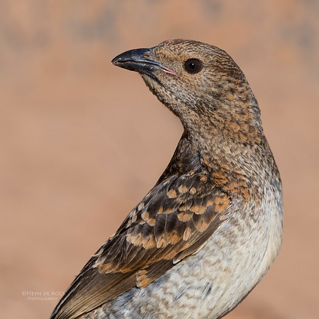 Spotted Bowerbird, Bowra, Cunnamulla, QLD, Aus, Sept 2017-1