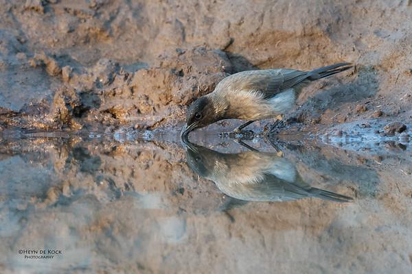 Dark-capped Bulbul, Mashatu GR, Botswana, May 2017-1