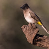 Dark-capped Bulbul, Zimanga, South Africa, May 2017-3