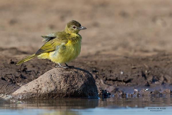 Yellow-bellied Greenbul, Mashatu GR, Botswana, May 2017-4