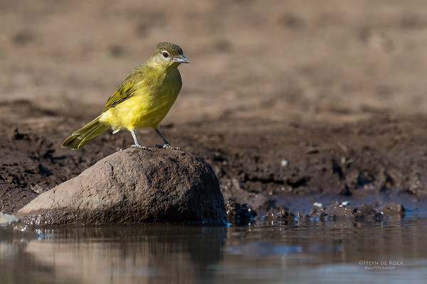 Yellow-bellied Greenbul, Mashatu GR, Botswana, May 2017-2