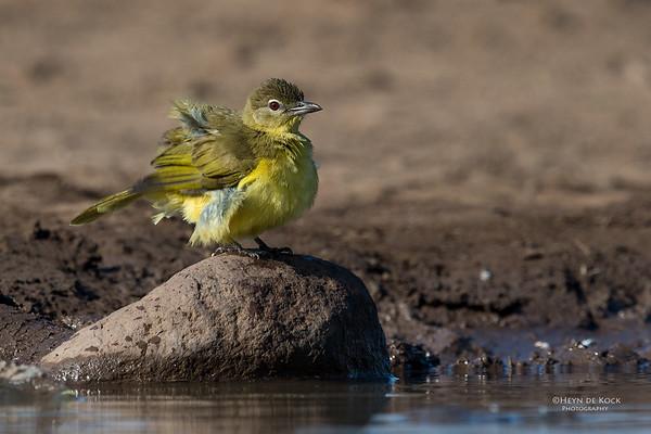 Yellow-bellied Greenbul, Mashatu GR, Botswana, May 2017-3