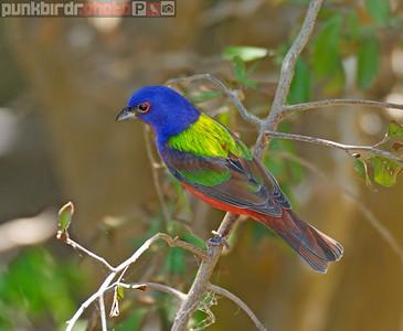 painted bunting (passerina ciris)