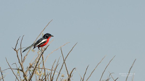 Crimson-breasted Shrike, Etosha NP, NAM, Jul 2011