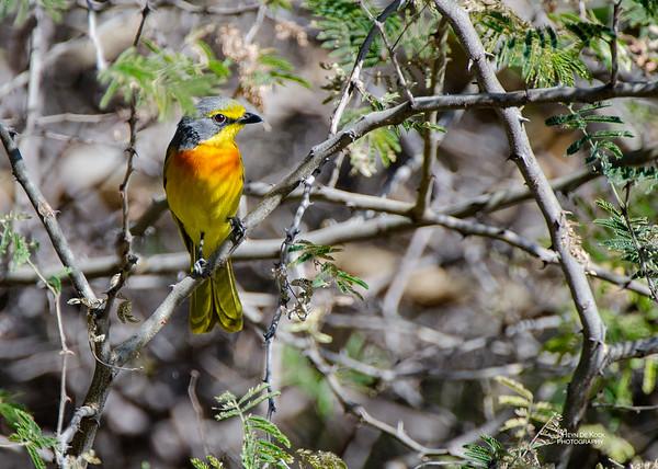 Orange-breasted Bushrike, Caprivi, Namibia, Jul 2011