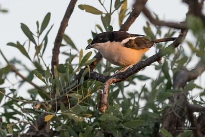 Tropical Boubou, Mashatu GR, Botswana, May 2017-2