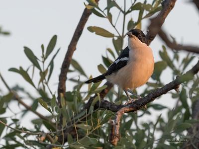 Tropical Boubou, Mashatu GR, Botswana, May 2017-3