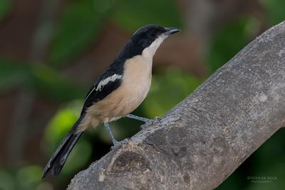 Tropical Boubou, Mashatu GR, Botswana, May 2017-1
