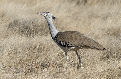 Kori Bustard, Etosha, Namibia, Jul 2011-1