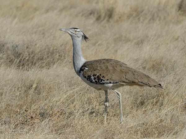 Kori Bustard, Etosha NP, Namibia, July 2011