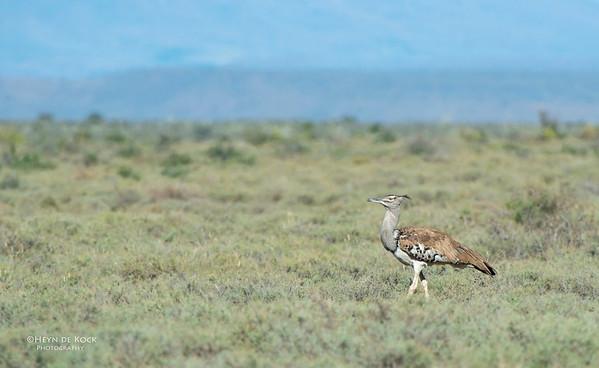 Kori Bustard, Karoo NP, WC, SA, Jan 2014