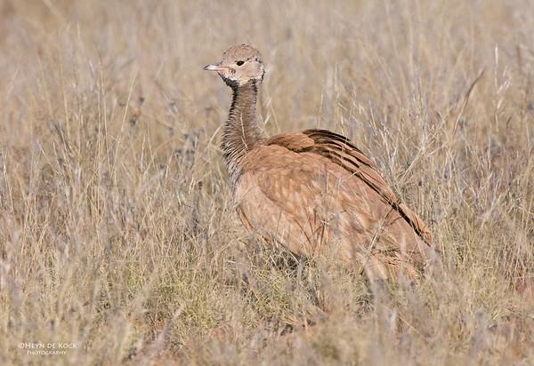 Ruppel's Korhaan, Helmeringhausen, Namibia, Jun 2011-3