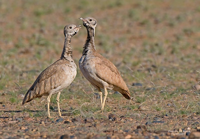 Ruppel's Korhaan pair, Sossasvlei, Namibia, Jul 2011-1