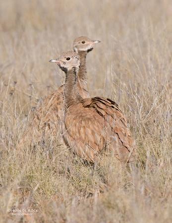 Ruppel's Korhaan, Helmeringhausen, Namibia, Jun 2011-2