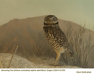 Burrowing Owl CA21165