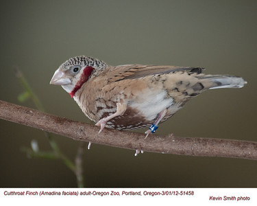 Cutthroat Finch AC51458