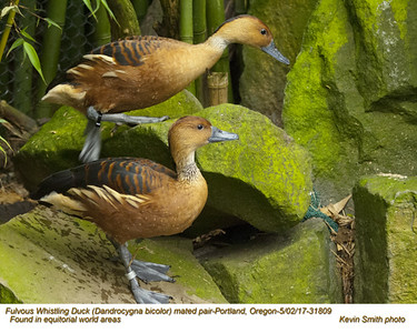 Fulvous Whistling Ducks PC31809
