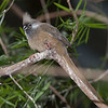 Speckled Mousebird C51453