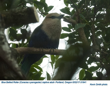 Blue Bellied Roller CA31941
