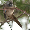 Speckled Mousebird C51442