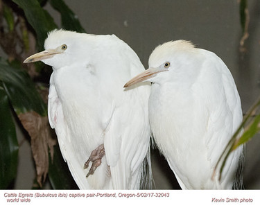 Cattle Egrets CP32043