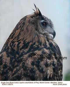 Eagle-OwlC56579