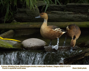 Fulvous Whistling Ducks PC31711