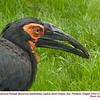Southern Ground Hornbill CA31920