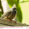Speckled Mousebird CA32096