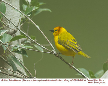 Golden Palm Weaver MC31930