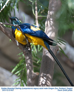 Golden Breasted Starling MC51407