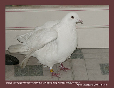 Betty's White Pigeon 64514