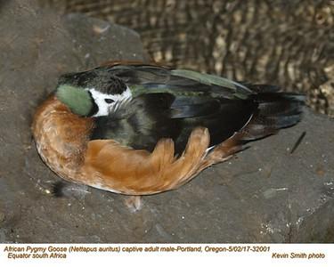 African Pygmy Goose CM32001