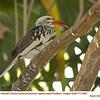 Red-billed Hornbill CA31981