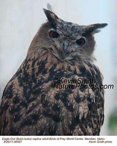 Eagle-OwlC56587