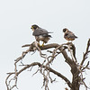 Peregrine Falcon and Australian Hobby, Western Treatment Plant, VIC, Apr 2014-1